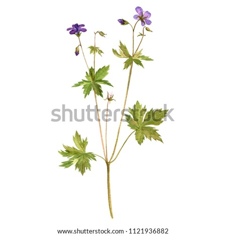 watercolor drawing flower of meadow geranium, painted botanical illustration, hand drawn floral illustration