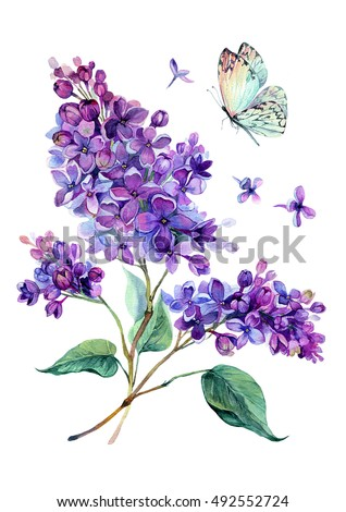 Watercolor drawing of beautiful lilac bouquet and white butterfly. Hand drawn botanical illustration of syringa vulgaris. Watercolor vintage summer blooming bouquet of purple flowers. #492552724