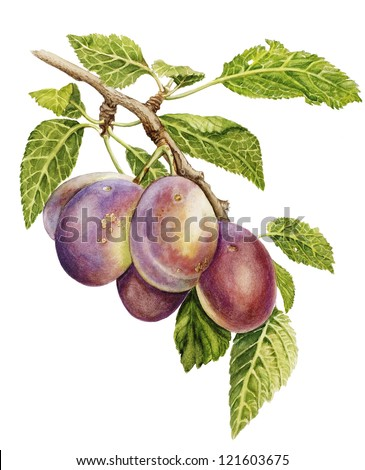 watercolor drawing with a branch of plums