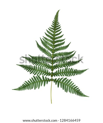 Watercolor fern isolated on white background. Hand drawn botanical illustration.