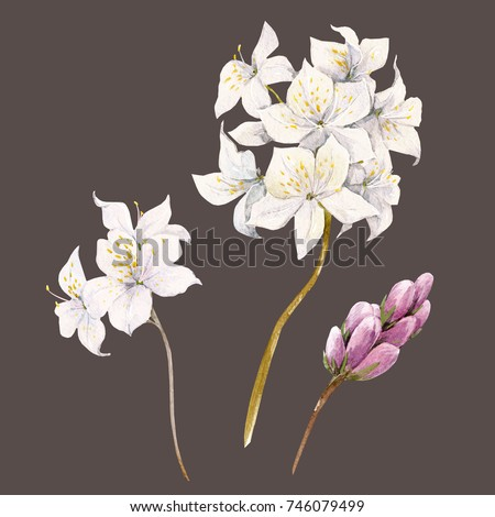 Watercolor floral set of illustrations, white  rhododendron  flowers, buds and leaves