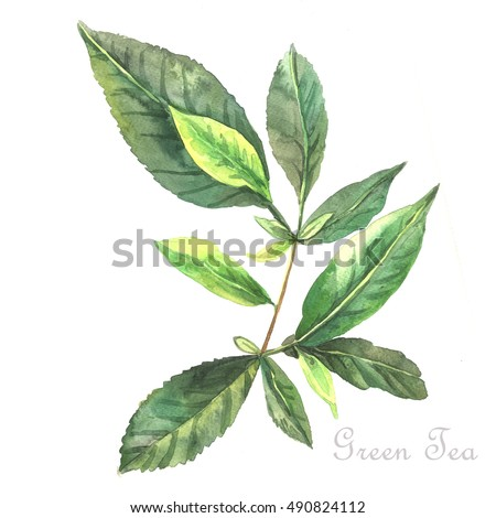 Watercolor Green Tea.  Original watercolor. Hand painting.  Illustration for greeting cards, invitations, and other printing projects.