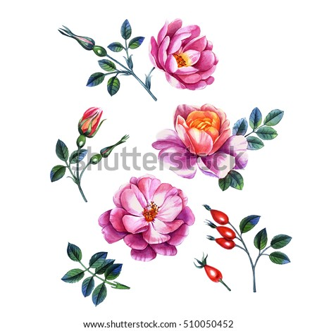 Watercolor hand painted illustration of roses. Can be used as background for invitations, greeting cards, postcards, textile design, patterns and so on.