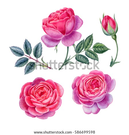 Watercolor hand painted roses. Can be used as romantic background for web pages,  wedding invitations, greeting cards, postcards, textile design, package design, wallpapers, prints and patterns.