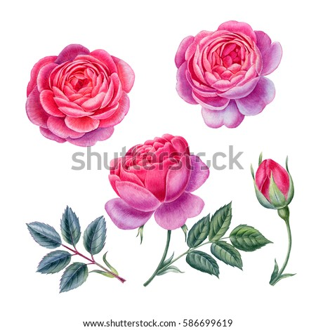 watercolor hand painted roses....