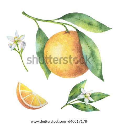 Watercolor hand painted set of branches and flowers fruit orange isolated on white background. Organic products for the design of healthy food, kitchen, market, menu, textiles.