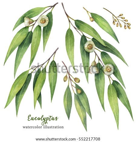 Watercolor hand painted set with eucalyptus leaves and branches. Floral illustration isolated on white background.