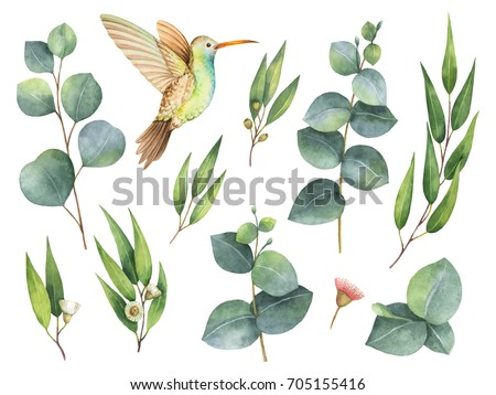 Watercolor hand painted set with eucalyptus leaves and Hummingbird. Floral illustration isolated on white background.