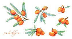 Watercolor handdrawn sea buckthorn berries with green leaves.