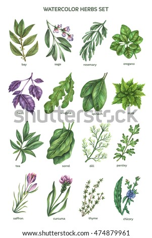 Watercolor herbs collection in high resolution. Hand drawn botanical illustration.