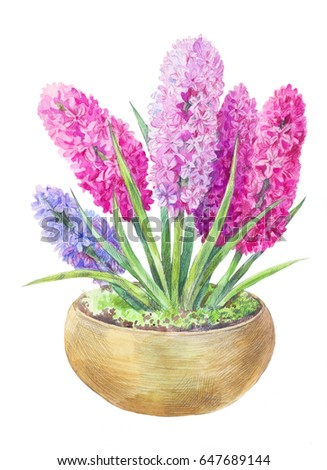 watercolor Hyacinth in a pot. Hand drawn painting of spring pink and lilac flowers isolated on white. Botanical illustration