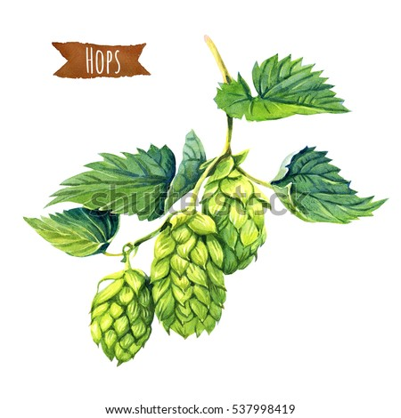 Watercolor illusration of hops vine isolated on white background