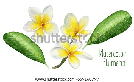 Watercolor illustration of flowers and leaves frangipani