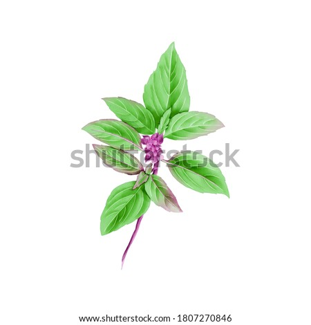 Watercolor Illustration of Fresh Basil, which is a commonly used spice in Thai cuisine, isolated on white background. Zdjęcia stock ©