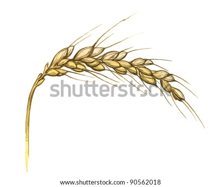 Watercolor illustration of wheat ear on white