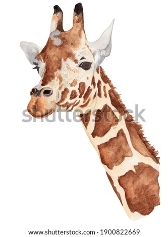Watercolor illustration. Portrait of a giraffe. Safari. Artiodactyl mammal. Isolated on a white background.