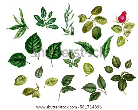 Watercolor leaves. collection of different leaves: rose,  linden, blackberry, eucalyptus, hazelnut, almond, peach and other. Green floral elements isolated. Botanical illustration