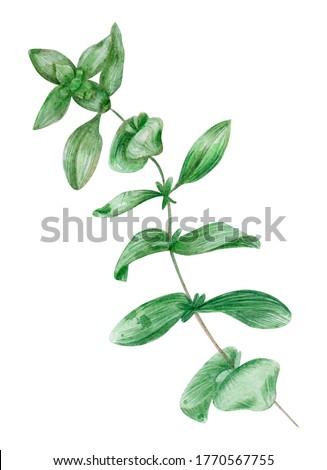 Watercolor marjoram.  Hand drawing. Botanical drawing. Mediterranean plants. Stock photo ©