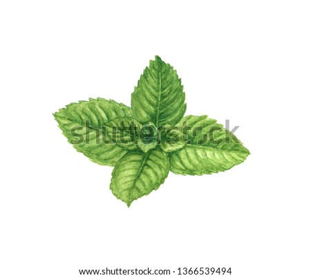 Watercolor mint branch or leaf, aromatic herb for spice or tea. Organic hand drawn illustration. Isolated. Photo stock ©