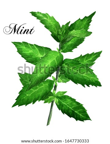 Watercolor Mint illustration | Kitchen Herb Drawing | Cooking Herbs Painting