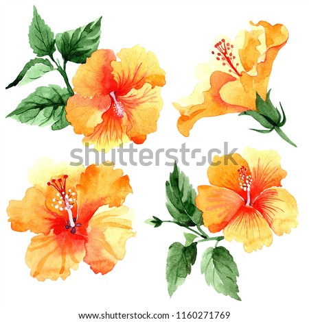 Watercolor orange naranja hibiscus flowers. Floral botanical flower. Isolated illustration element. Aquarelle wildflower for background, texture, wrapper pattern, frame or border.