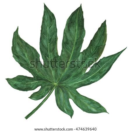 Watercolor painting Big Leaf Japanese Aralia Fatsia japonia isolated on a white background Zdjęcia stock ©