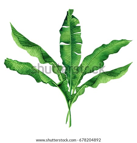 Watercolor painting green,banana leaves isolated on white background.Watercolor hand painted illustration palm,banana tree tropical exotic leaf for wallpaper vintage Hawaii aloha style pattern.