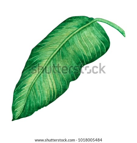 Watercolor painting green leaves,palm leaf isolated on white background.Watercolor hand painted illustration tropical,aloha exotic leaf for wallpaper tree,jungle,Hawaii style pattern.Clipping path. - Shutterstock ID 1018005484