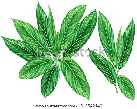 Watercolor painting green leaves,palm leaf isolated on white background.Watercolor hand painted illustration tropical,aloha exotic leaf for wallpaper tree,jungle,Hawaii style pattern.Clipping path.