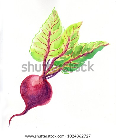Watercolor painting of a beet