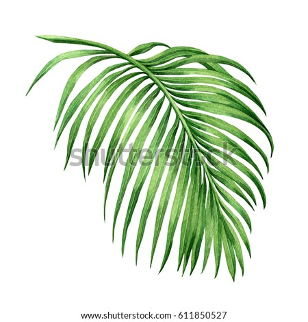Watercolor painting palm leaf, green leave isolated on white background. Watercolor hand painted illustration.coconut leaf pattern ,wallpaper ,closeup brush stroke texture. With clipping path