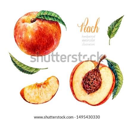 Watercolor peach. Botanical watercolor hand drawn illustration. Peach. Half peach. Watercolor fruits