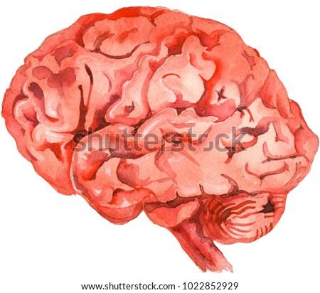 """Watercolor picture """"Brain Anatomy"""""""