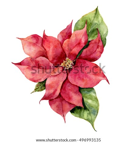 Watercolor poinsettia. Hand painted christmas flower illustration isolated on white background. Botanical illustration for design, print or background.