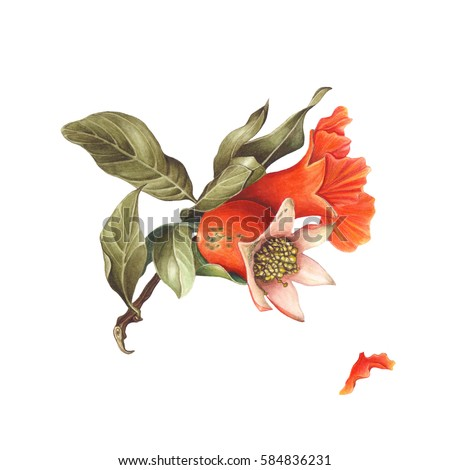 Watercolor Pomegranate blossom & fruit, isolated on white background. Hand drawn botanical illustration for Save the Date, Valentines day Cards, Wedding invitation, Covers. Poster & textile design.