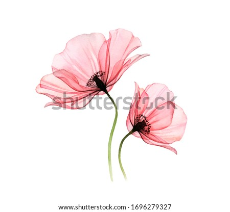 Watercolor Poppy artwork. Transparent big and small flowers isolated on white. Hand painted illustration with detailed petals. Botanical painting for cards, wedding design