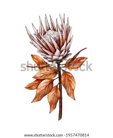 Watercolor Protea flower isolated on white background, dry flora. Hand painted watercolor. Botanical hand drawn illustration for wedding invitations, prints, greeting cards, textile Stock foto ©