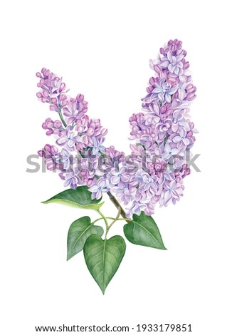 Watercolor purple lilac illustration. Hand drawn flowers branch with green leaves. Can be used as print, poster, postcard, packaging design, invitation, sticker, tattoo, textile, template. Stock photo ©