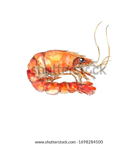 Watercolor sea food illustration painting shrimp isolated on white background