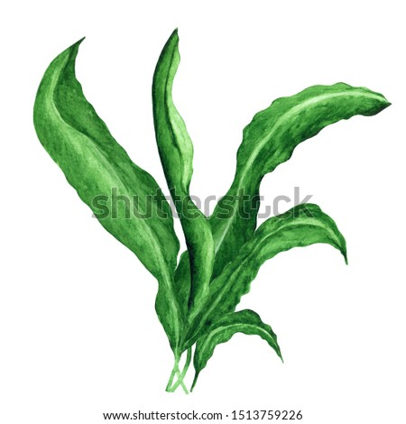 Watercolor seaweed, green plant, leaves isolated on white background. Hand painting on paper Сток-фото ©