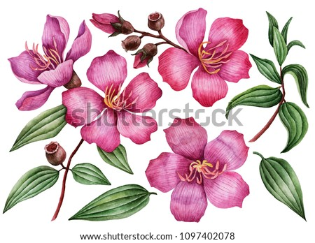 Watercolor set of flowers, hand drawn illustration of melastoma, bright floral elements isolated on a white background.