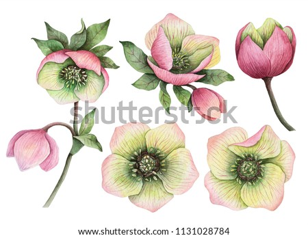 Watercolor set of hellebore flowers, hand painted floral illustration isolated on a white background.