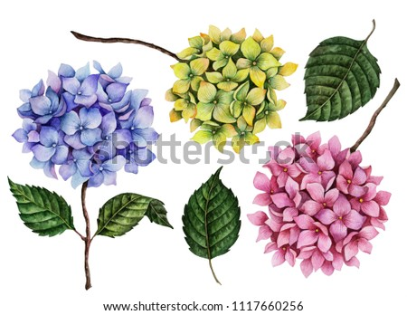 Watercolor set of hydrangea flowers, hand painted floral illustration, colorful branches isolated on a white background.