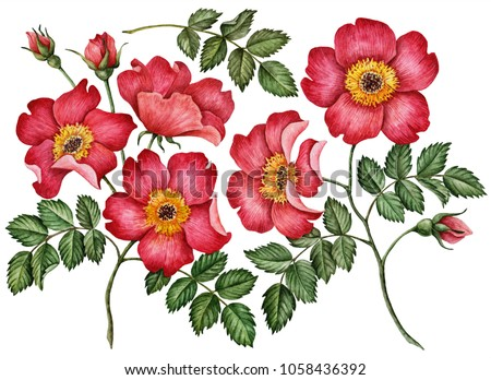 Watercolor set of rose hip flowers and leaves, hand drawn floral illustration isolated on a white background.