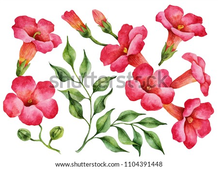 Watercolor set of trumpet vine flowers. Hand painted illustration of tropical exotic branches isolated on a white background.