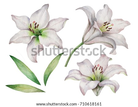 Watercolor set of white lilies, hand drawn illustration of flowers isolated on a white background.