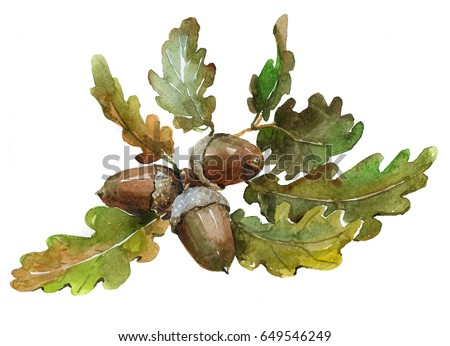Watercolor single acorn isolated on a white background illustration.