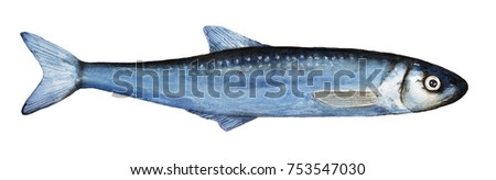 Watercolor single smelts fish illustration. Top view, blue colors, closeup; small, thin, long, whole body. Hand drawn watercolour paint, isolated on white background.
