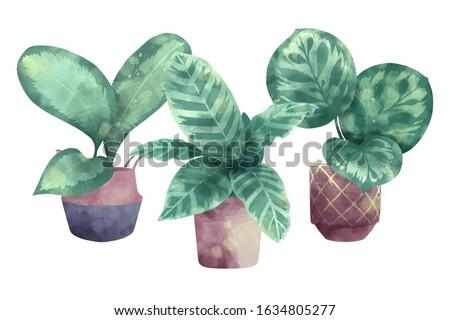 Calathea Roseapicta Prayer Plant Exotic Leaf-Pattern Indoor Evergreen Perennial