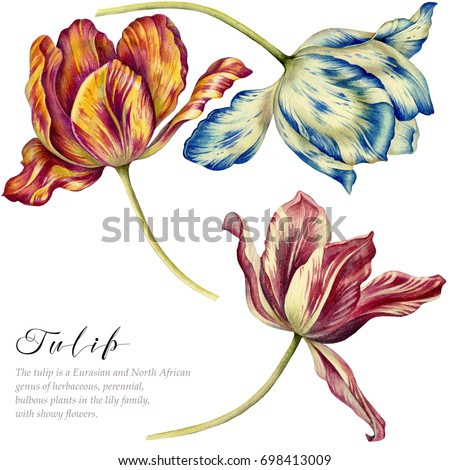 Watercolor vintage tulips. Colorful tulips on white background. Botanical art.